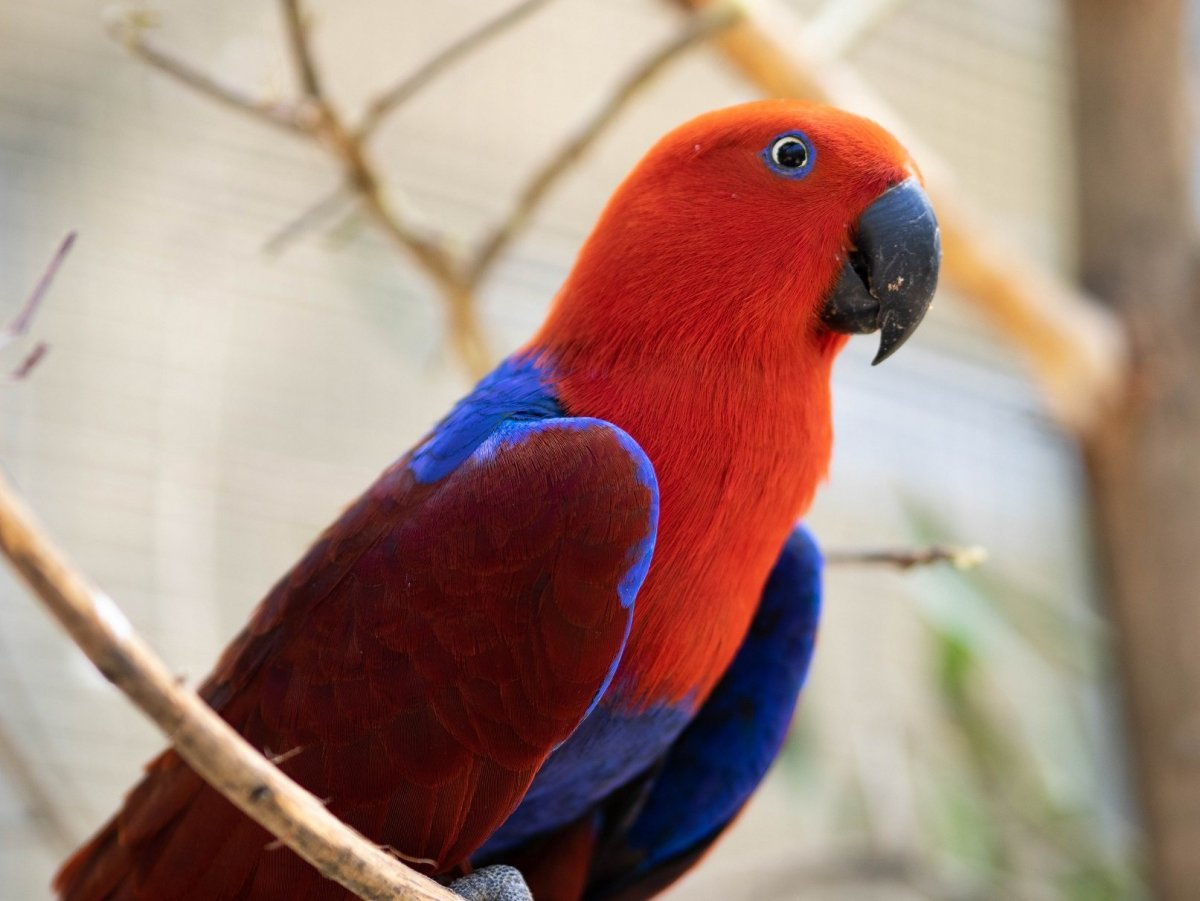 female Eclectus Cockatoo.jpg
